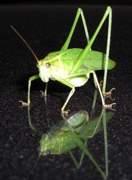 Katydids with personal guards