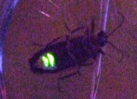 Firefly illuminated by self-emitted light