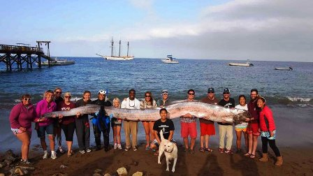 Giant oarfish that was found off Catalina Island in October 2013