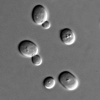 Yeast of the species Saccharomyces cerevisiae