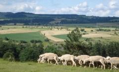 Sheep on French Hillside: Havang(nl)