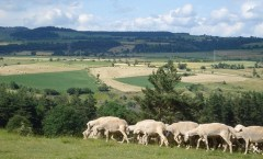 Sheep on French Hillside: Havang(nl)