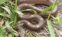 Common House Snake