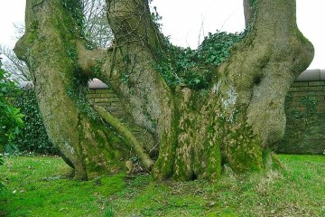 Conjoined Trees http://commons.wikimedia.org/wiki/File:Monkredding_-_inosculated_tree.JPG