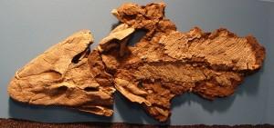 Tiktaalik-Fossil-Field-Museum-Chicago-Wikimedia