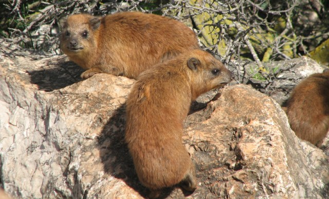 Two Hyraxes, photo credit: Arikk