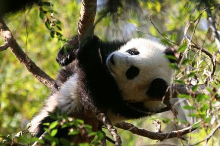 Panda Cub in a Tree, Wiki Commons