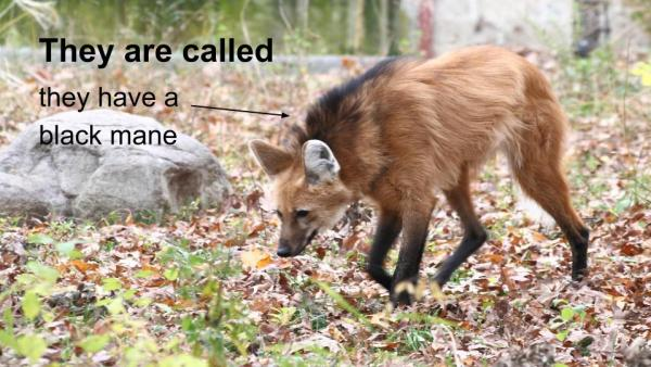 Maned Wolves-2
