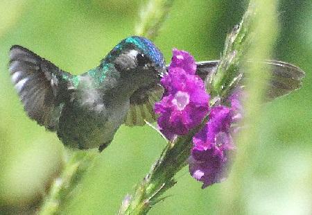 CS4K-Hummingbird-drinking-purple