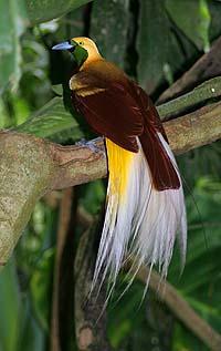 Lesser Bird of Paradise, WikiCommons