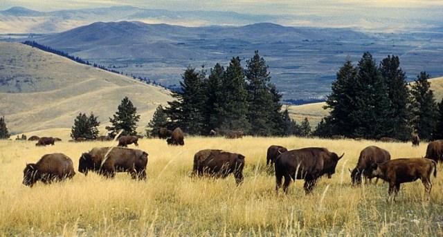 Bison herd: US Fish and Wildlife