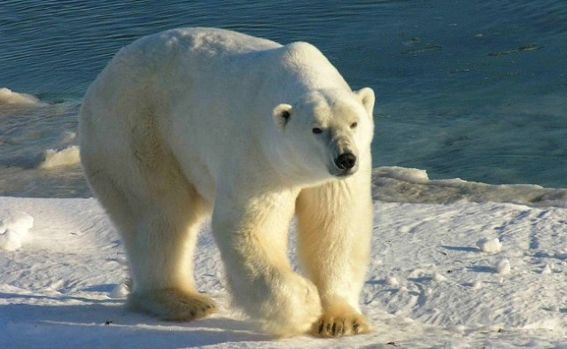 Polar Bear on Ice, WikiMedia