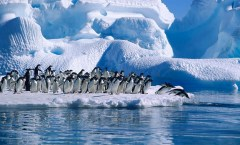 Adelie penguins heading to sea, Angell Williams