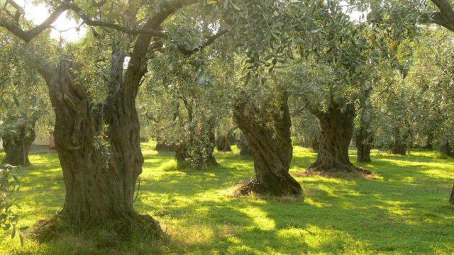 Olive grove, photo credit: Petr Pakandl