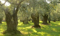 Olive grove, photo credit: Petr Pakandl