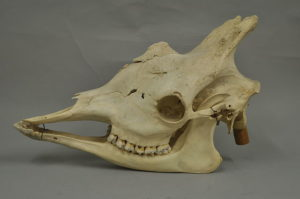 Giraffe skull with lower jaw: Photo credit: Klaus Rassinger