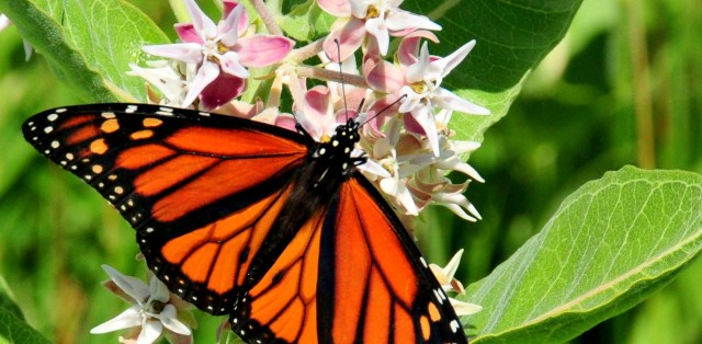 Monarch butterfly on Milkweed blossoms