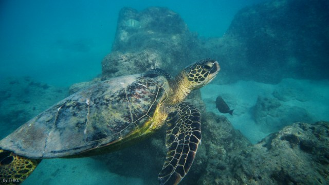 Sea Turtle off of Oahu, photo credit: FHKE