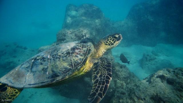 Sea Turtle off of Oahu, photo credit: FHKE