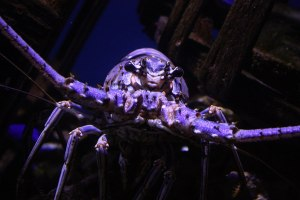 Wild Lobster closeup: photo credit, Caitlin Reyes