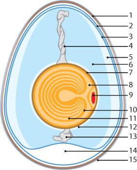 https://i1.wp.com/creationwiki.org/images/0/0e/Egg.jpg