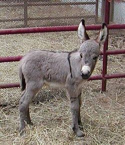 Donkey  CreationWiki, the encyclopedia of creation science
