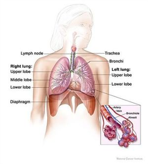 Respiratory system  CreationWiki, the encyclopedia of creation science