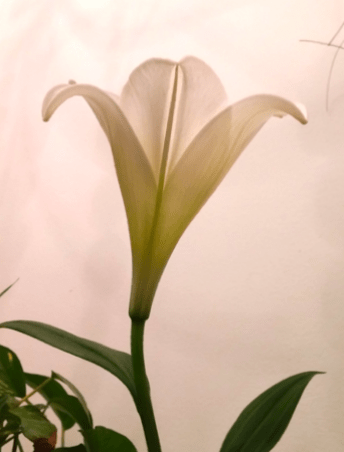 Lily from a side view