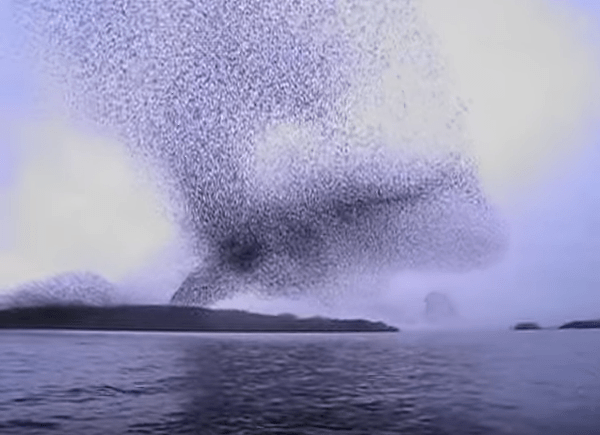 Starling Murmuration on River Shannon