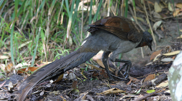Photo: Superb Lyre Bird 1 by Ian Sanderson