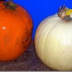 Pumpkin Week!:  Cranberry Pumpkin Cheesecake
