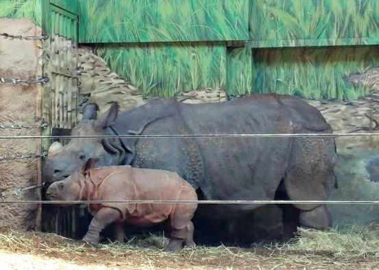 mama and baby rhino at toronto zoo