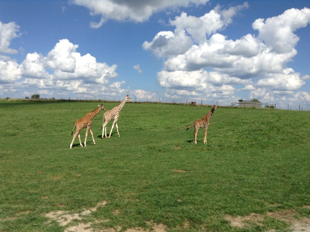 Giraffes at The Wilds