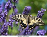 a-swallowtail-butterfly-papilio-machaon-of-the-family-papilionidae-ex52pk