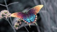 beautiful-colorful-butterfly-pictures-4-cool-wallpaper (1)