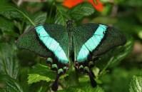 Emerald-Swallowtail-Butterfly