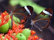 glasswinged-butterfly8-s1024x768-422732