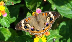 Junonia_coenia_most -beautiful-butterfly-insect-animal-10
