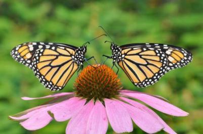 monarch-butterfly-best-friends-valerie-evanson