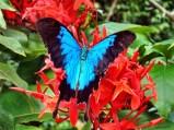 ulysses-butterfly