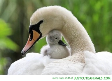 beautiful-swan-pictures-ducklings-cute-animal-mother-baby-pics