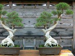 Bonsai-2073250609