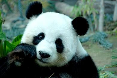 China_wildlife_panda