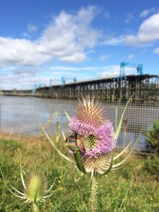 Thistle on a walking commute  - podcasts at the ready!
