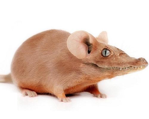 crocidile-rat