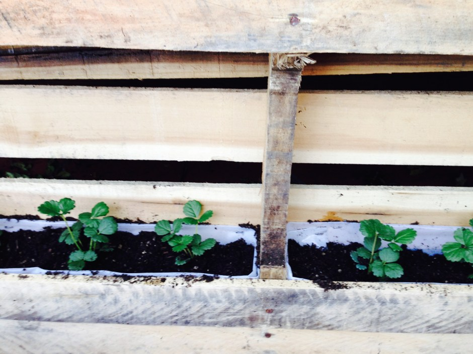 "Plant your strawberries in the dirt in these ""planter boxes."""