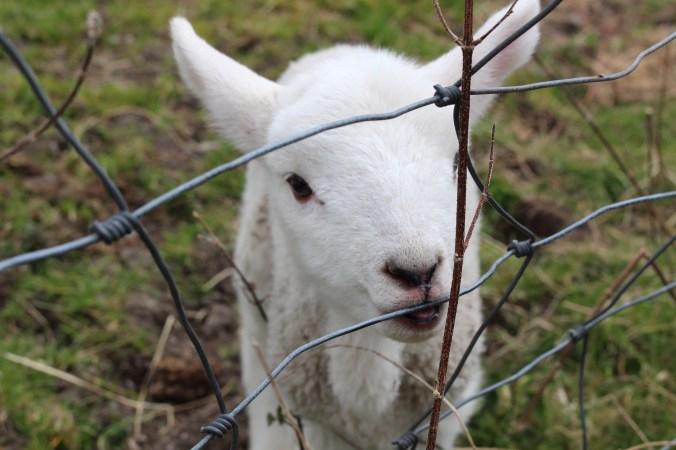wee pet lamb 3