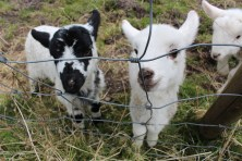 wee pet lambs
