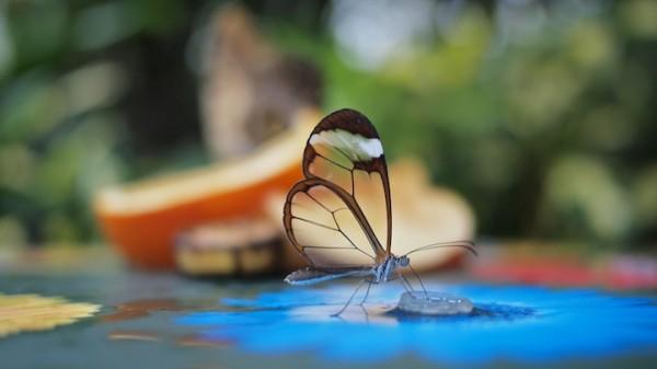 glasswingbutterfly1