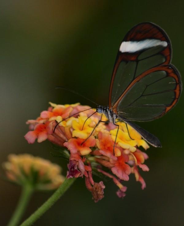 glasswingbutterfly11